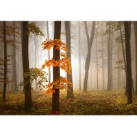 Wizzard and Genius Fotobehang Foggy Autumn Forest | 7640181292479